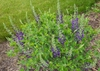 Baptisia australis