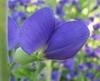 Baptisia australis flower