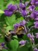 Baptisia australis with Bumblebees (Bombus spp.)