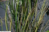 Baumea rubiginosa
