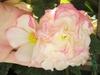 Begonia tuberhybrida-cultorum
