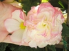 B.cultorum flower