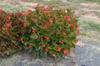 Begonia x benaratensis