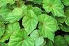 Begonia grandis leaves