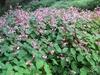 Begonia grandis mass planting