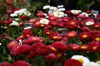 Bellis perennis (red and white)