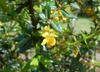 Berberis candidula flower and leaves