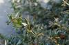 Berberis verruculosa foliage
