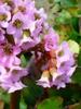 Bergenia cordifolia flower