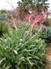 Beschorneria yuccoides