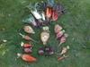 Beta vulgaris (Garden Beet Group)