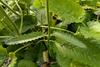 Betonica officinalis
