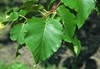 Betula maximowicziana leaves