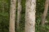 Betula platyphylla var. japonica bark
