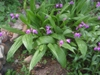 Bletilla striata - full plant close view