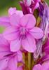 Bourbon Watsonia (Watsonia borbonica) flower