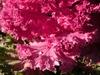 Brassica oleracea var. acephala