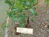 Brassica napus (Napobrasica Group)