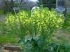 Broccoli in Bloom