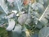 Mature broccoli plant
