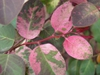 Leaves with pink mottling and red stems