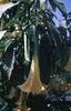 Brugmansia spp. (Datura spp.)