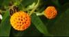 Buddleja globosa flower