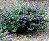 'Blue Chip' bush