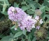 'Lilac Chip' panicle