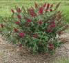 'Miss Molly'  bush