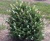 'Miss Pearl' bush