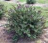 'Miss Violet' bush