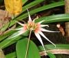 Bulbophyllum appendiculatum