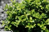 Buxus microphylla Green Pillow