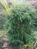 Buxus sempervirens 'Parasol'