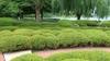 Buxus sinica insularis pruned
