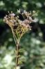Cacalia atriplicifolia