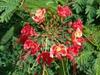 Caesalpinia pulcherrima