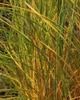 Calamagrostis x acutiflora  'Karl Forester'