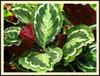 Calathea makoyana