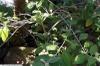 Callicarpa acuminata