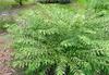 Callicarpa dichotoma