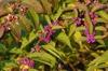 Callicarpa dichotoma 'Issai' - late fall foliage