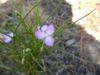 Callisia graminea in Moore County, NC