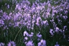 Camassia cusickii, C. esculenta