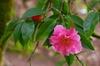 Camellia-x -reticulata