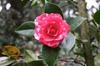 Camellia-x -reticulata-Howard-Asper