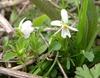 Canada Violet Viola canadensis