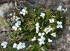 Cardamine corymbosa form and flowers