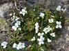 Cardamine corymbosa form and flowers